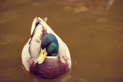 Duck on the lake. In the zoo Royalty Free Stock Photography
