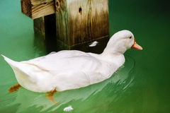 Duck on the lake. In the zoo Stock Photography