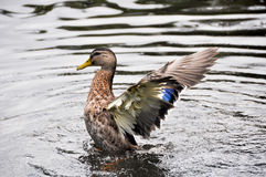 Duck landing. In a lake Stock Photography