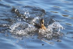Duck Landing. Making a splash - A female mallard duck splashing down to land on a pond Stock Images