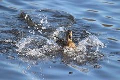 Duck Landing. Making a splash - A female mallard duck splashing down to land on a pond Stock Images