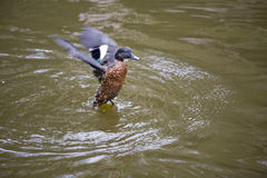 Duck landing. Duck in serene setting in a pond Stock Images