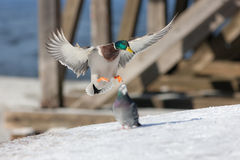 Duck landing on the snow Royalty Free Stock Photography
