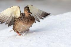 Duck landing on the snow Stock Photo