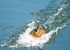 Duck landing with speed in the water Stock Image