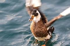 Duck landing on water Stock Photo
