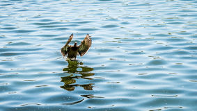 Duck Landing On Water Stock Photos