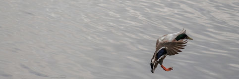 Duck landing on water. Mallard Duck landing on top the smooth water Royalty Free Stock Photo