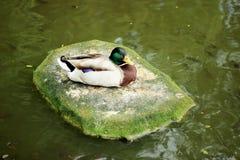 Duck Latin-de naam Anatidae volgens de classificatie behoort tot de klasse van vogels, orde van ganzen, familie van eend en soort stock afbeeldingen