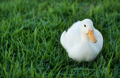 Duck on a lawn with copy space for text Royalty Free Stock Images