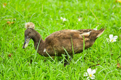 Duck in lawn. Duck in the green lawn Royalty Free Stock Photos