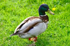 Duck on the lawn. Male mallard duck walking around the lawn looking for food stock photos