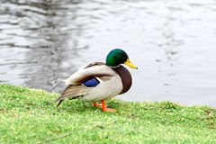 Duck on the lawn near the water. Closeup Stock Photography