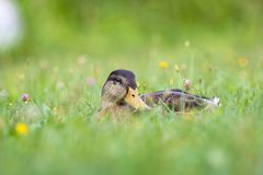 Duck lies in the grass, in a flower meadow stock image