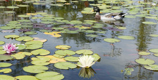 Duck in lily pond stock image