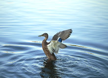 The duck limbers up wings Royalty Free Stock Images