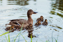 Duck with  little duckling Royalty Free Stock Photo