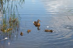 Duck and little ducklings swimming on the lake. A duck and little ducklings are swimming on the lake. Family of ducks feeding on water Stock Photography