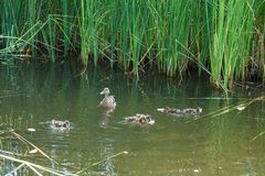 Duck and little ducklings swimming on the lake. A duck and little ducklings are swimming on the lake. Family of ducks feeding on water Stock Photo