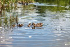 Duck and little ducklings swimming on the lake. A duck and little ducklings are swimming on the lake. Family of ducks feeding on water Stock Photos