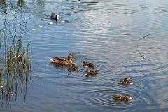 Duck and little ducklings swimming on the lake. A duck and little ducklings are swimming on the lake. Family of ducks feeding on water royalty free stock photos