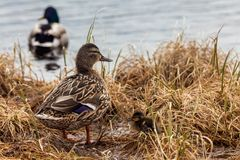 Duck with little duck, family. And the lake on the background royalty free stock photography
