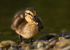 Duck. Little Duck on a morning lagoon royalty free stock photography