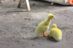 Duck. Little duck,duck,yelloow,color,cute Royalty Free Stock Images