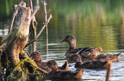 Duck with little young ducklings floating on the lake water.  stock photography