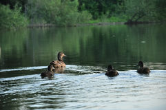 Duck with little young ducklings floating on the lake water.  stock photo