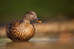 Duck. Living in the lagoon Royalty Free Stock Photo
