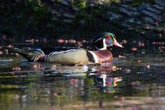Duck Log de madera Imagen de archivo libre de regalías