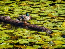 Duck on the log in the lake in the public Beacon Hill Park, Vict Royalty Free Stock Image