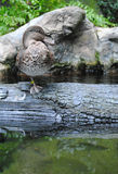 Duck On A Log Royalty Free Stock Photography