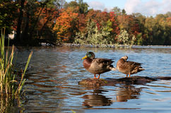 Duck on a log. Two ducks on a log, drake and female resting after swimming Stock Photography