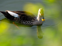 The Duck Royalty Free Stock Photos