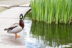 Duck Looking At Camera Close till ett damm Arkivbild