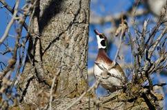 Duck Looking de madera al cielo mientras que está encaramado en un árbol Foto de archivo libre de regalías