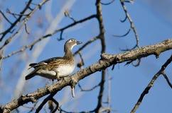 Duck Looking de madera femenino al cielo mientras que está encaramado en un árbol Foto de archivo libre de regalías