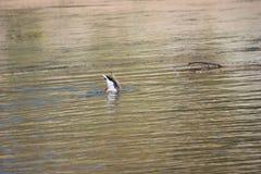Duck scuba diving royalty free stock photos