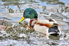 Duck looking for food in blooming water. Mallard - a bird from the family of ducks detachment of waterfowl. The most famous and common wild duck royalty free stock photo