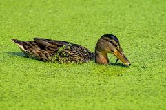 Duck looking for food in blooming water. Mallard - a bird from the family of ducks detachment of waterfowl. The most famous and common wild duck. Closeup stock photography