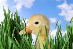 Duck Looking Through the Grass royalty free stock photography