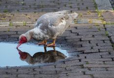Duck looking at its refelection in a puddle in Ely, Cambridgeshire, UK Royalty Free Stock Photos
