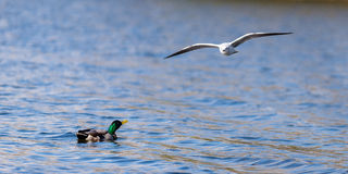 Duck Looking Up At Gull Flying Over Lake. A gull flies over a male mallard duck on the UEA lake in Norfolk. the duck looks up at the gull quizzically Royalty Free Stock Images