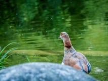 Duck Looking in ver stock afbeeldingen