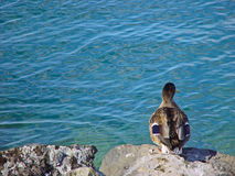 Duck looking at the water Stock Photography