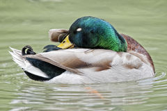 Duck while looking at you in the green background Royalty Free Stock Photos