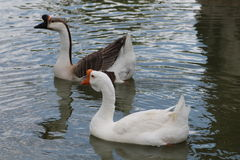 Duck in Los Alamos, N.M. Royalty Free Stock Images