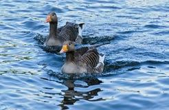 Duck Love Stockfotos